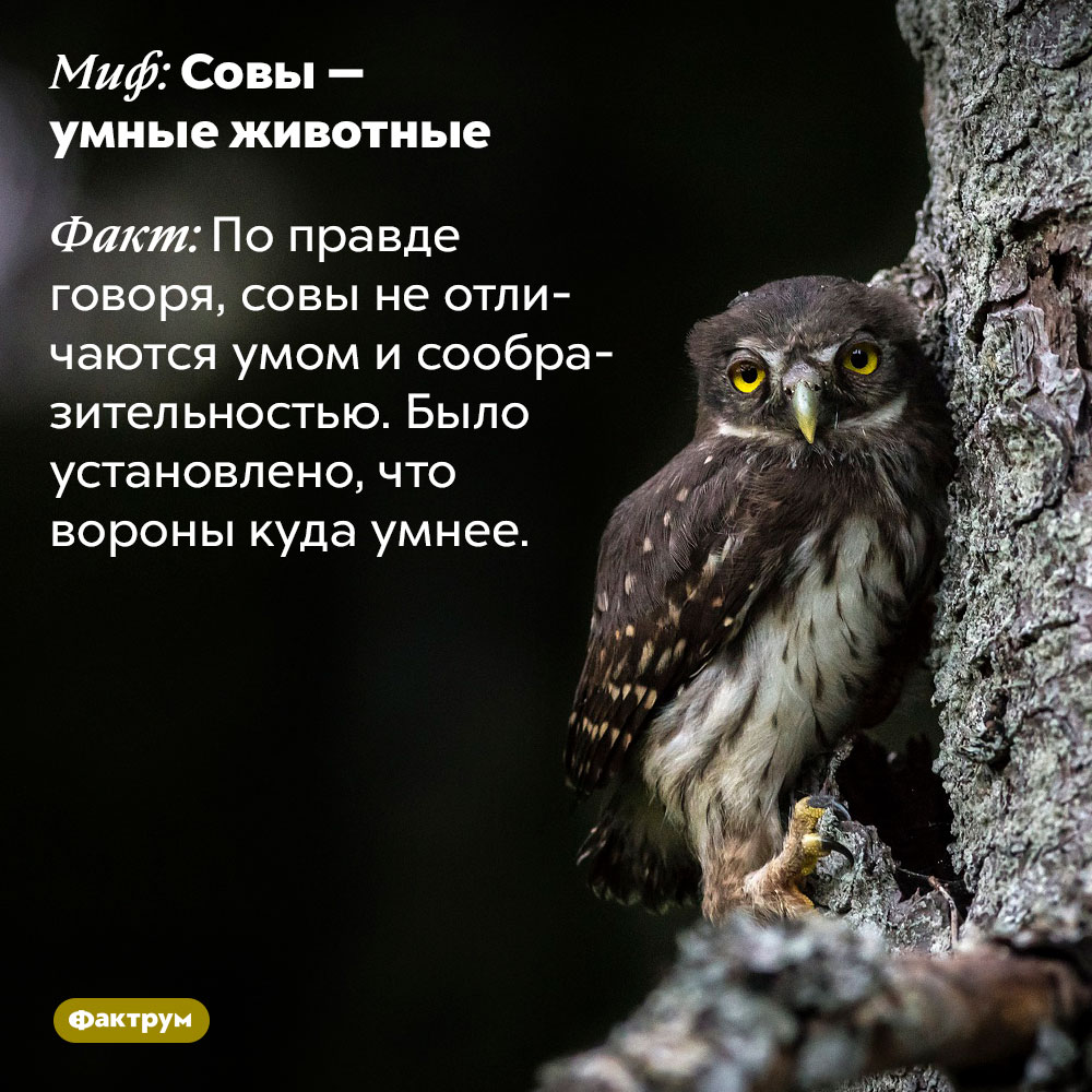 Ум сов. По правде говоря, совы не отличаются умом и сообразительностью. Было установлено, что вороны куда умнее.