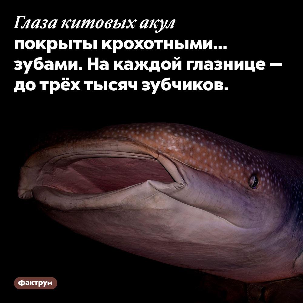 Глаза китовых акул покрыты крохотными зубами. На каждой глазнице — до трёх тысяч зубчиков.