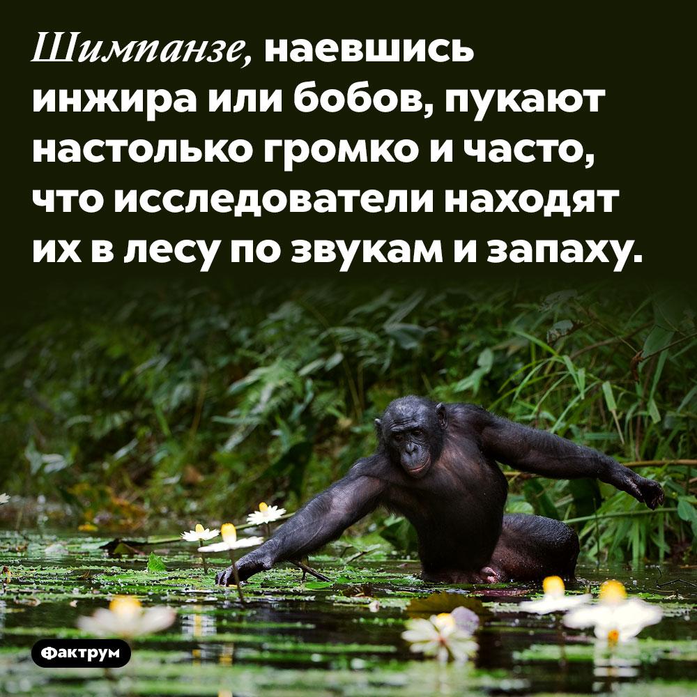 Шимпанзе, наевшись бобов, так интенсивно пукают, что их находят позвуку изапаху. Шимпанзе, наевшись инжира или бобов, пукают настолько громко и часто, что исследователи находят их в лесу по звукам и запаху.