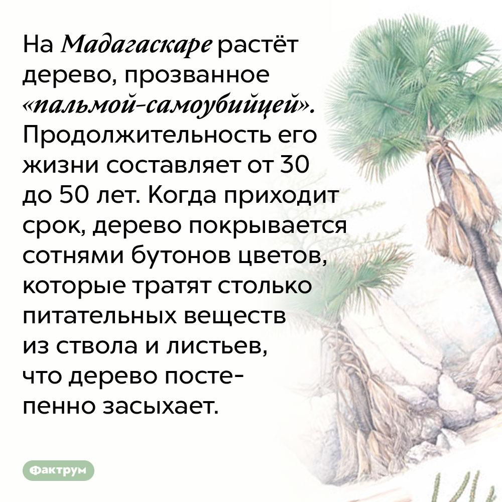 На Мадагаскаре растёт «пальма-самоубийца». На Мадагаскаре растёт дерево, прозванное «пальмой-самоубийцей». Продолжительность его жизни составляет от 30 до 50 лет. Когда приходит срок, дерево покрывается сотнями бутонов цветов, которые тратят столько питательных веществ из ствола и листьев, что дерево постепенно засыхает.