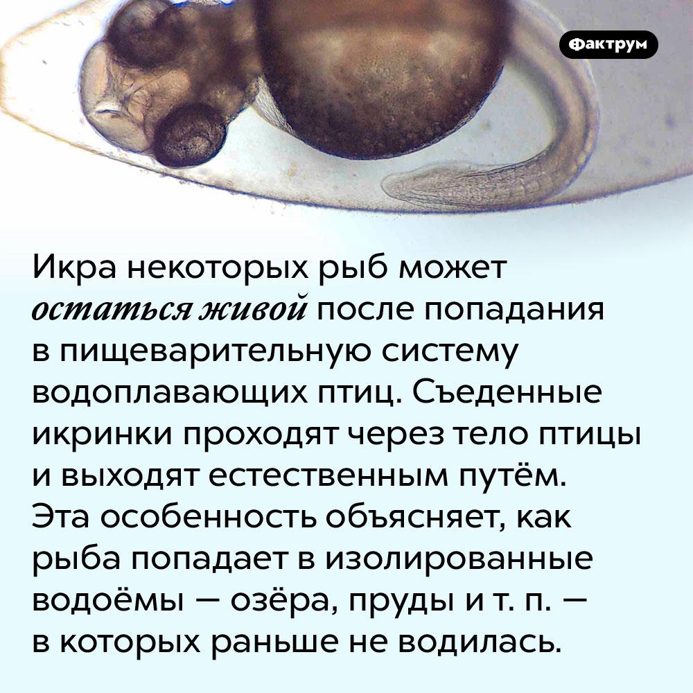 Икра некоторых рыб выживает после съедения водоплавающими птицами. Икра некоторых рыб может остаться живой после попадания в пищеварительную систему водоплавающих птиц. Съеденные икринки проходят через тело птицы и выходят естественным путём. Эта особенность объясняет, как рыба попадает в изолированные водоёмы — озёра, пруды и т. п. — в которых раньше не водилась.
