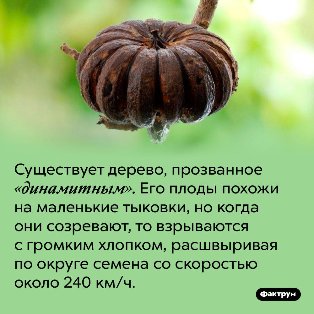 Существует «динамитное» дерево. Существует дерево, прозванное «динамитным». Его плоды похожи на маленькие тыковки, но когда они созревают, то взрываются с громким хлопком, расшвыривая по округе семена со скоростью около 240 км/ч.