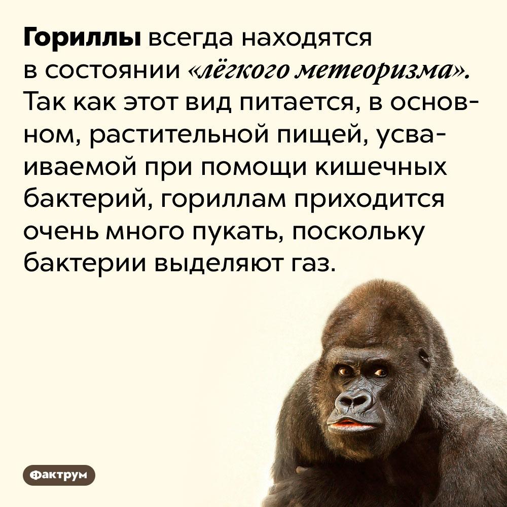 Увсех горилл метеоризм. Гориллы всегда находятся в состоянии «лёгкого метеоризма». Так как этот вид питается, в основном, растительной пищей, усваиваемой при помощи кишечных бактерий, гориллам приходится очень много пукать, поскольку бактерии выделяют газ.