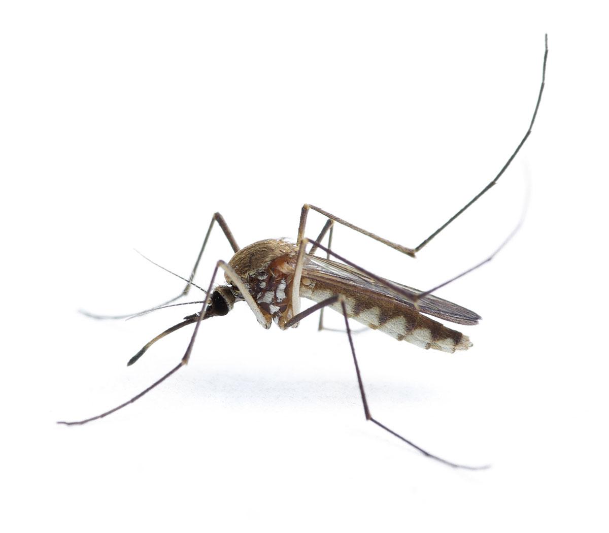 Комары непьянеют