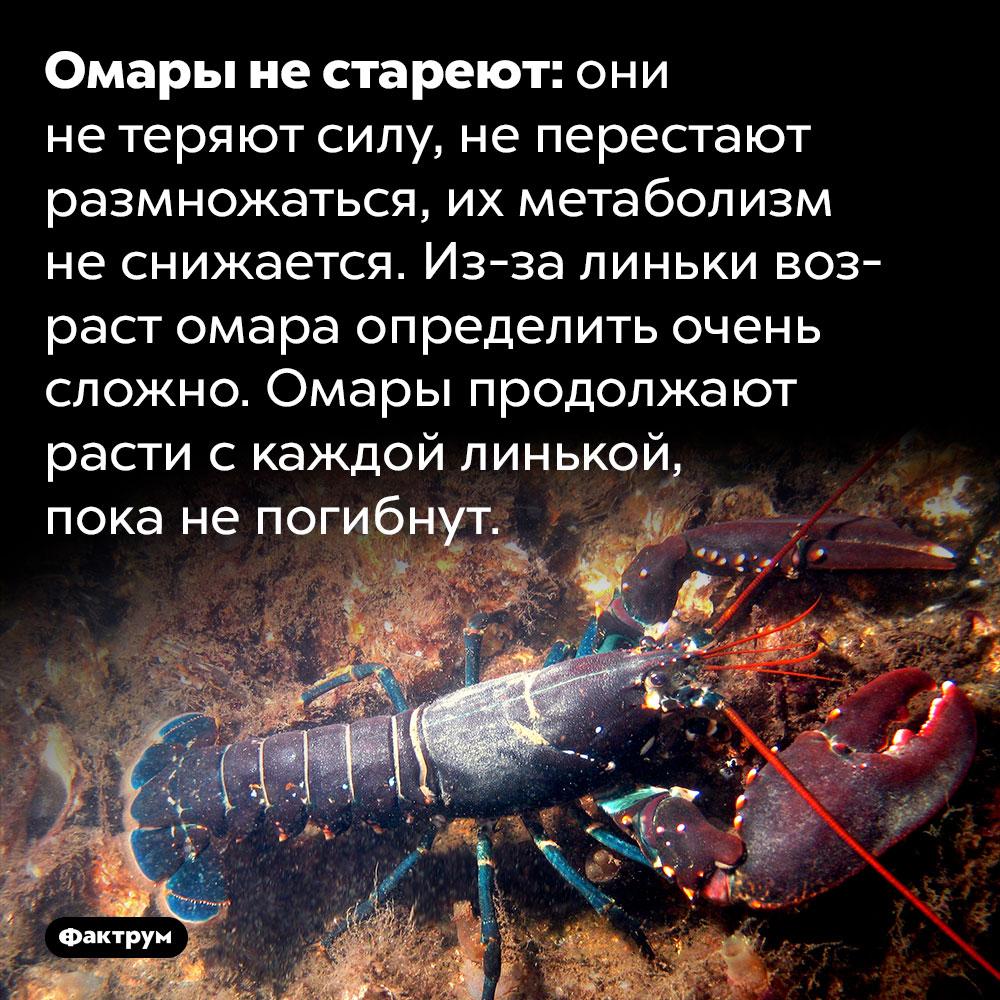Омары нестареют. Омары не стареют: они не теряют силу, не перестают размножаться, их метаболизм не снижается. Из-за линьки возраст омара определить очень сложно. Омары продолжают расти с каждой линькой, пока не погибнут.