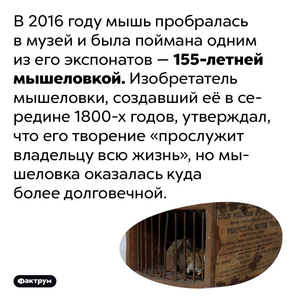 В2016году 155-летняя мышеловка поймала мышь вмузее. В 2016 году мышь пробралась в музей и была поймана одним из его экспонатов — 155-летней мышеловкой. Изобретатель мышеловки, создавший её в середине 1800-х годов, утверждал, что его творение «прослужит владельцу всю жизнь», но мышеловка оказалась куда более долговечной.