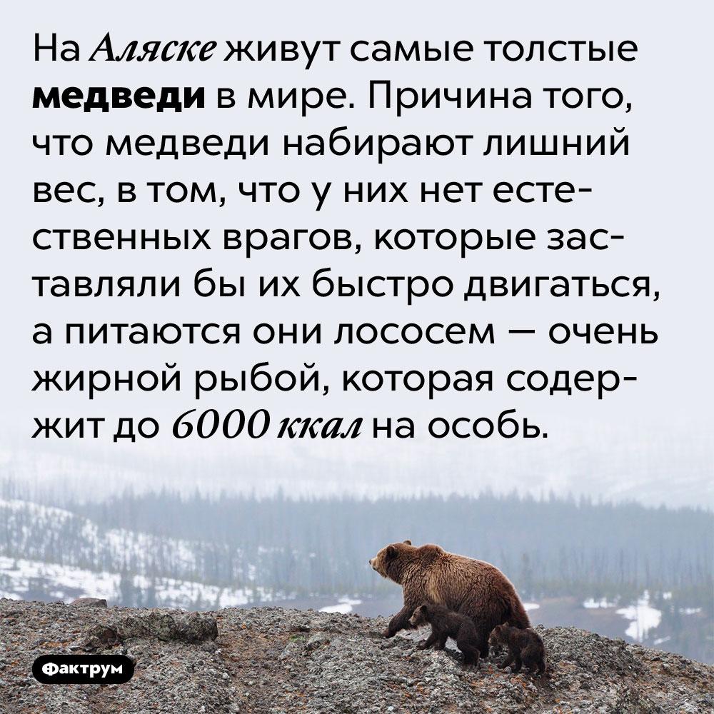 Аляскинские медведи — самые толстые вмире. На Аляске живут самые толстые медведи в мире. Причина того, что медведи набирают лишний вес, в том, что у них нет естественных врагов, которые заставляли бы их быстро двигаться, а питаются они лососем — очень жирной рыбой, которая содержит до 6000 ккал на особь.