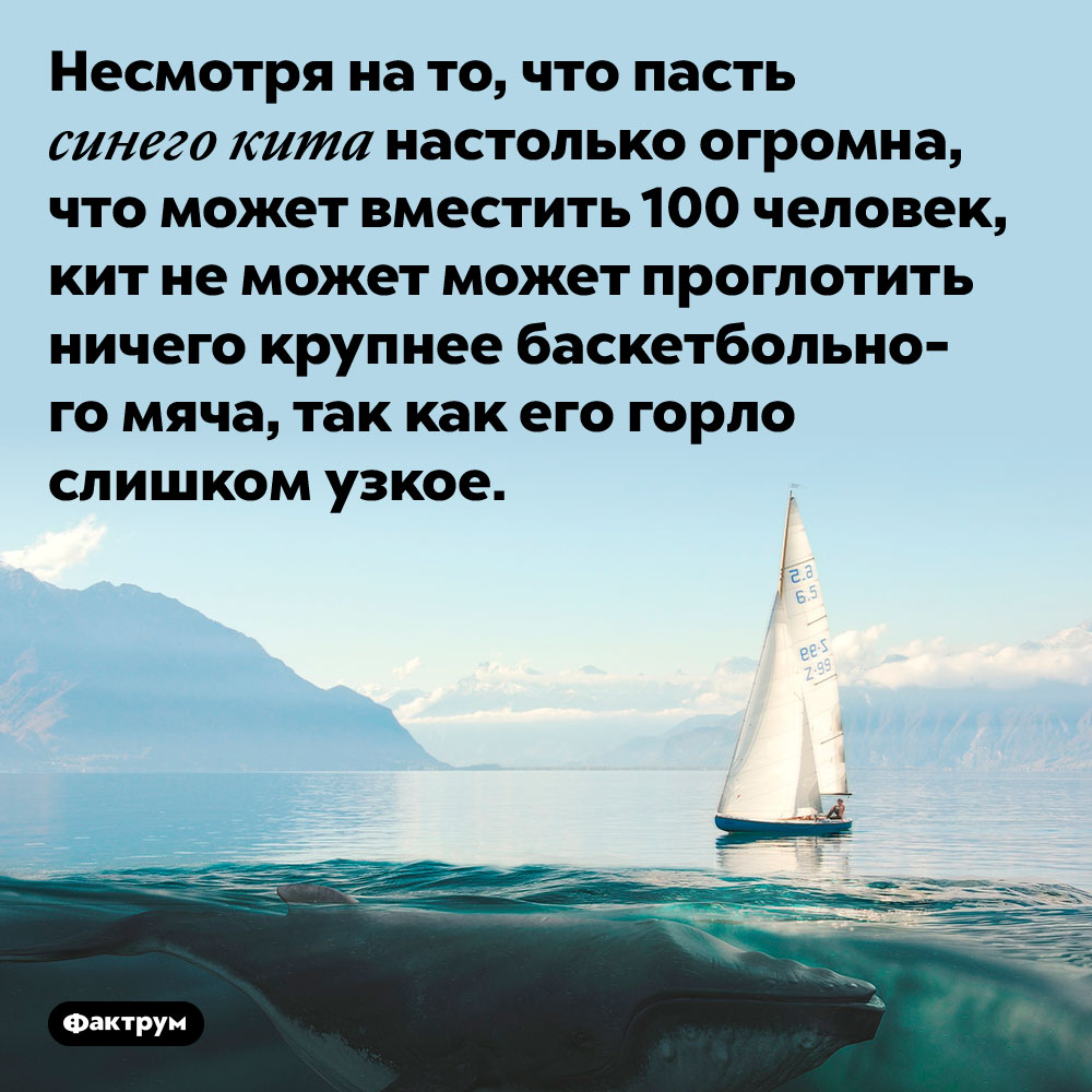 Пасть синего кита огромна, агорло — узкое. Несмотря на то, что пасть синего кита настолько огромна, что может вместить 100 человек, кит не может может проглотить ничего крупнее баскетбольного мяча, так как его горло слишком узкое.