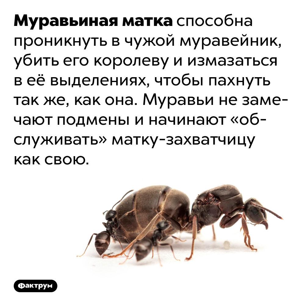 Муравьиная матка способна свергнуть предыдущую королеву. Муравьиная матка способна проникнуть в чужой муравейник, убить его королеву и измазаться в её выделениях, чтобы пахнуть так же, как она. Муравьи не замечают подмены и начинают «обслуживать» матку-захватчицу как свою.