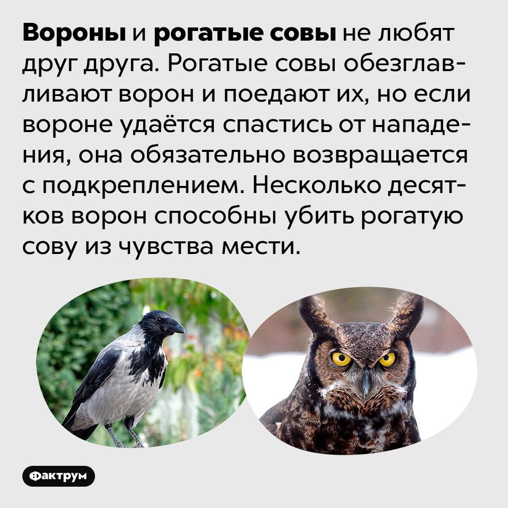 Вороны ирогатые совы ненавидят друг друга. Вороны и рогатые совы не любят друг друга. Рогатые совы обезглавливают ворон и поедают их, но если вороне удаётся спастись от нападения, она обязательно возвращается с подкреплением. Несколько десятков ворон способны убить рогатую сову из чувства мести.