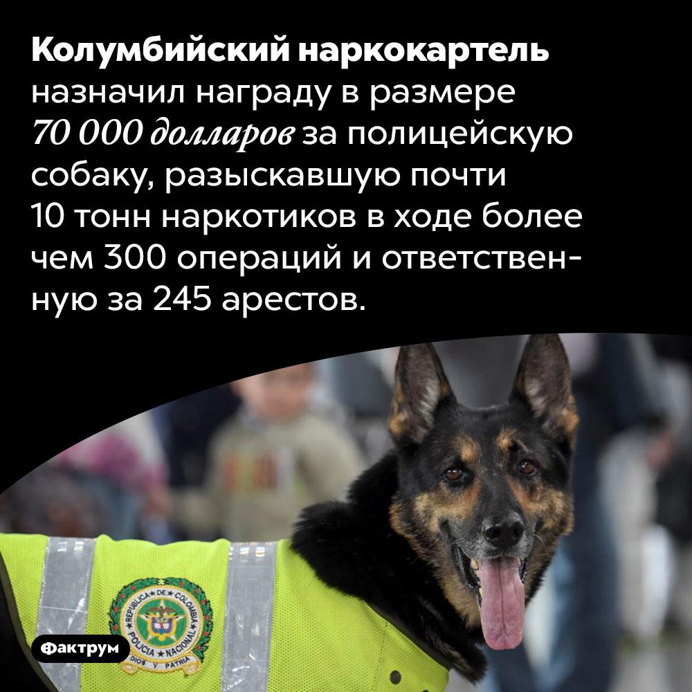 Полицейская собака нанесла наркокартелю огромный ущерб. Колумбийский наркокартель назначил награду в размере 70 000 долларов за полицейскую собаку, разыскавшую почти 10 тонн наркотиков в ходе более чем 300 операций и ответственную за 245 арестов.