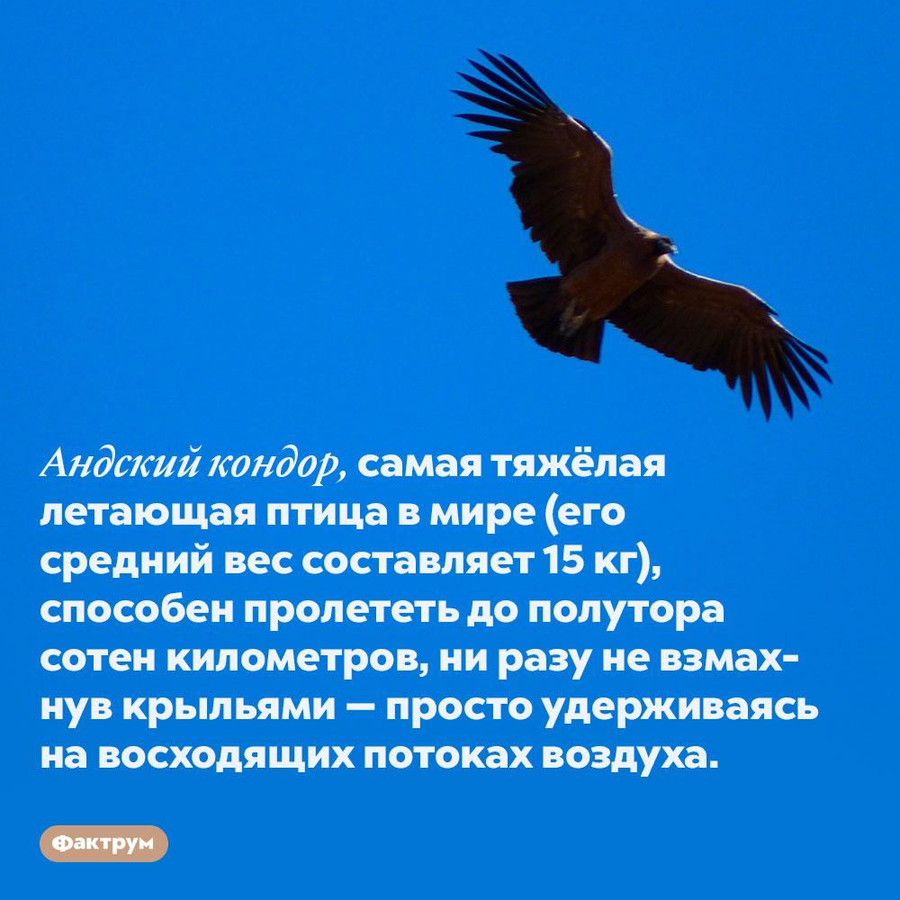 Андский кондор преодолевает огромные расстояния, немаша крыльями. Андский кондор, самая тяжёлая летающая птица в мире (его средний вес составляет 15 кг), способен пролететь до полутора сотен километров, ни разу не взмахнув крыльями — просто удерживаясь на восходящих потоках воздуха.