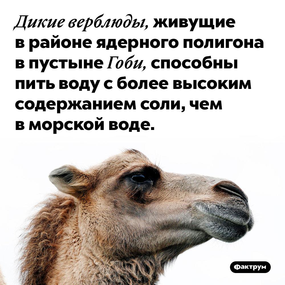 Верблюды, живущие пососедству сядерным полигоном, приобрели способность пить очень солёную воду. Дикие верблюды, живущие в районе ядерного полигона в пустыне Гоби, способны пить воду с более высоким содержанием соли, чем в морской воде.