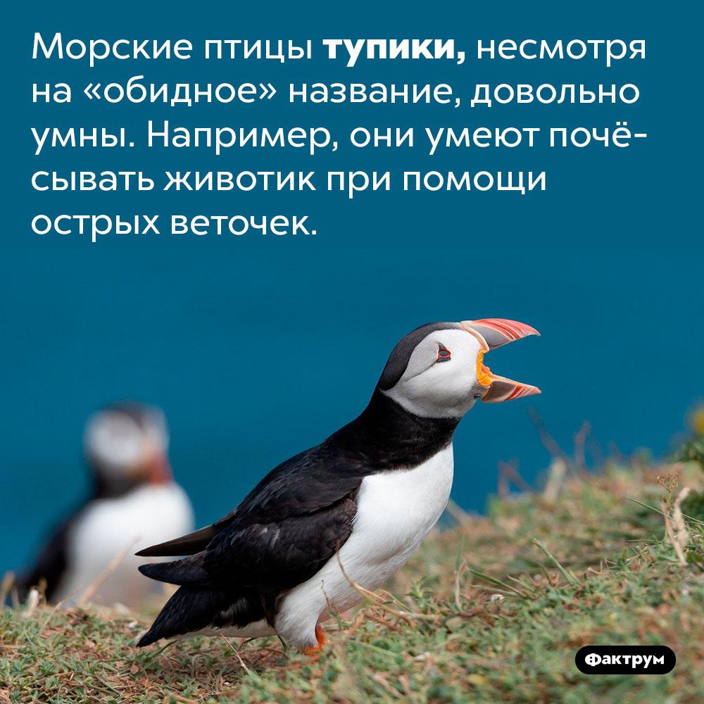 Тупики чешутся ветками. Морские птицы тупики, несмотря на «обидное» название, довольно умны. Например, они умеют почёсывать животик при помощи острых веточек.
