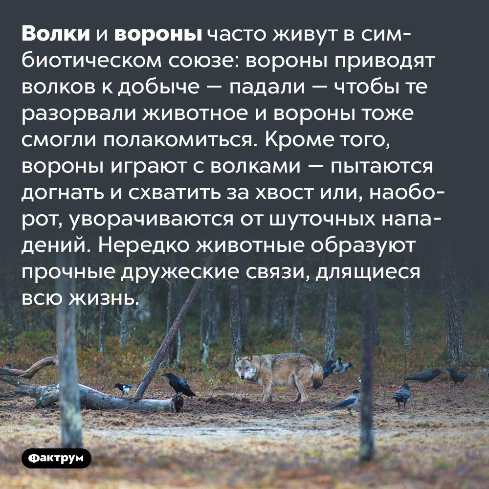 Волки ивороны дружат вдикой природе. Волки и вороны часто живут в симбиотическом союзе: вороны приводят волков к добыче — падали — чтобы те разорвали животное и вороны тоже смогли полакомиться. Кроме того, вороны играют с волками — пытаются догнать и схватить за хвост или, наоборот, уворачиваются от шуточных нападений. Нередко животные образуют прочные дружеские связи, длящиеся всю жизнь.