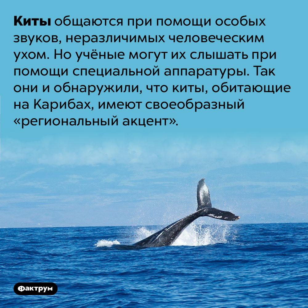 Киты Карибского бассейна «разговаривают» сакцентом. Киты общаются при помощи особых звуков, неразличимых человеческим ухом. Но учёные могут их слышать при помощи специальной аппаратуры. Так они и обнаружили, что киты, обитающие на Карибах, имеют своеобразный «региональный акцент».