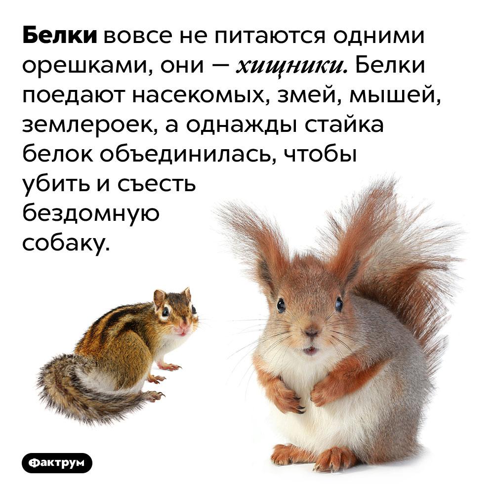 Белки — хищники. Белки вовсе не питаются одними орешками, они — хищники. Белки поедают насекомых, змей, мышей, землероек, а однажды стайка белок объединилась, чтобы убить и съесть бездомную собаку.