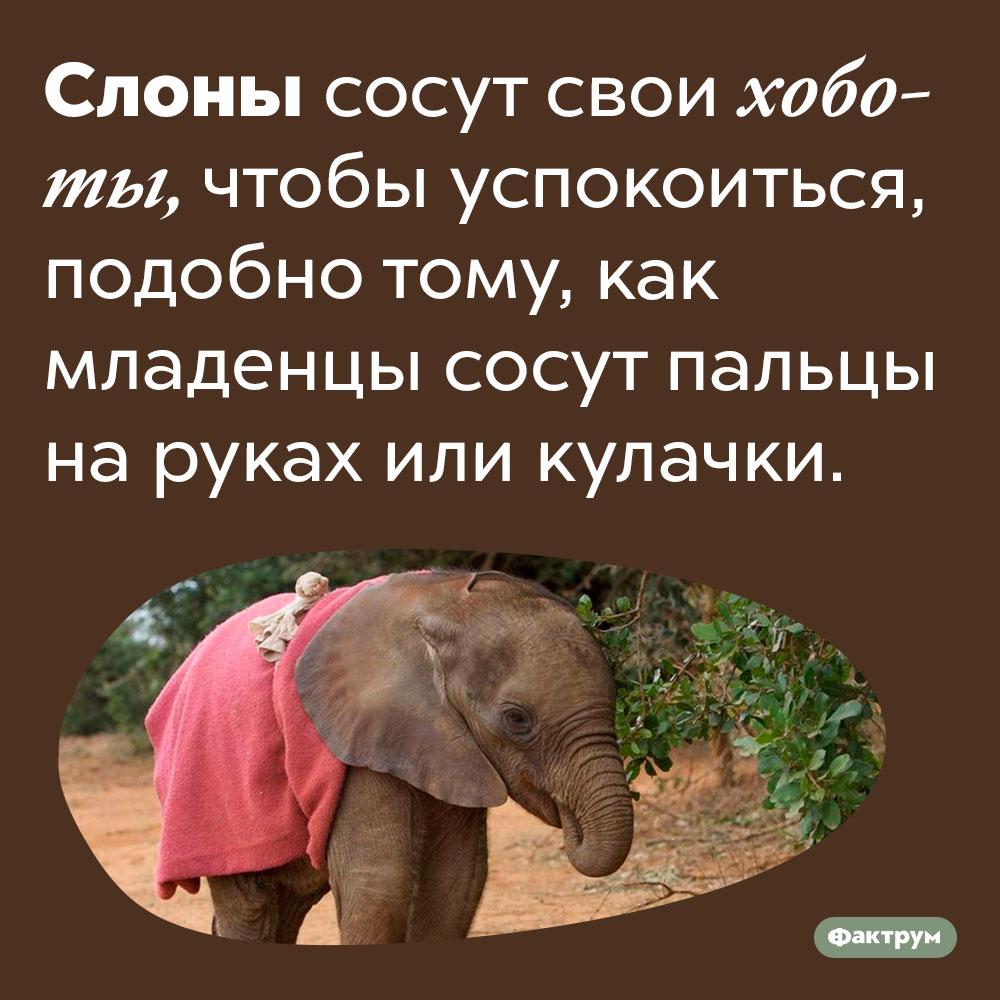 Слоны сосут хоботы, как младенцы сосут пальцы или кулачки. Слоны сосут свои хоботы, чтобы успокоиться, подобно тому, как младенцы сосут пальцы на руках или кулачки.