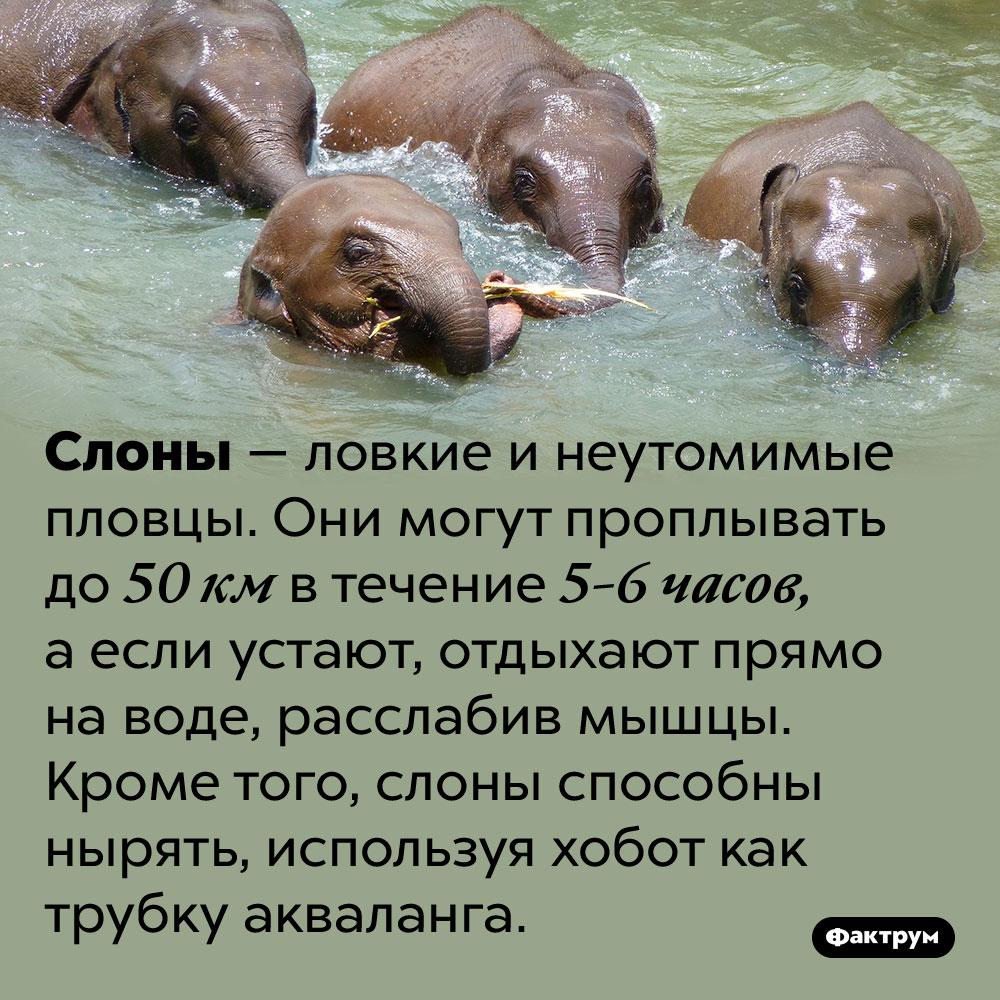 Слоны отлично плавают. Слоны — ловкие и неутомимые пловцы. Они могут проплывать до 50 км в течение 5-6 часов, а если устают, отдыхают прямо на воде, расслабив мышцы. Кроме того, слоны способны нырять, используя хобот как трубку акваланга.