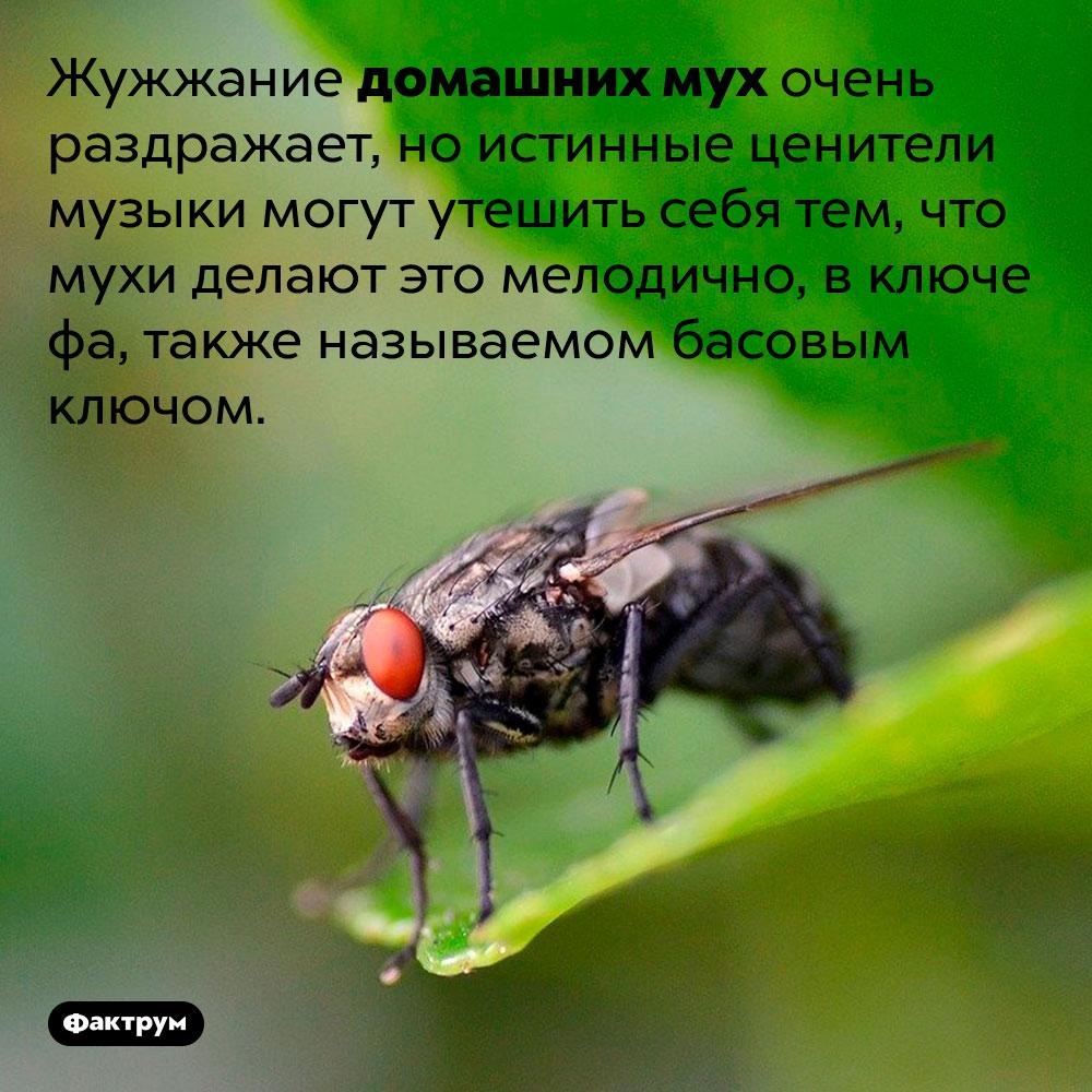 Комнатные мухи гудят включе фа. Жужжание домашних мух очень раздражает, но истинные ценители музыки могут утешить себя тем, что мухи делают это мелодично, в ключе фа, также называемом басовым ключом.