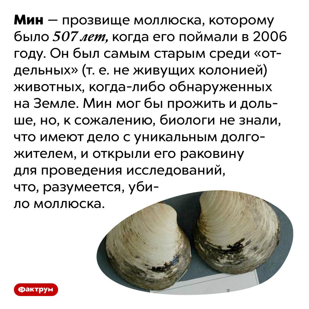 Самому старому животному, обнаруженному наЗемле, было 507лет. Мин — прозвище моллюска, которому было 507 лет, когда его поймали в 2006 году. Он был самым старым среди «отдельных» (т. е. не живущих колонией) животных, когда-либо обнаруженных на Земле. Мин мог бы прожить и дольше, но, к сожалению, биологи не знали, что имеют дело с уникальным долгожителем, и открыли его раковину для проведения исследований, что, разумеется, убило моллюска.