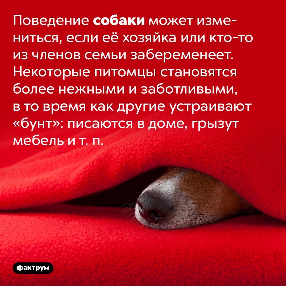Собаки распознают беременность хозяек именяют поведение. Поведение собаки может измениться, если её хозяйка или кто-то из членов семьи забеременеет. Некоторые питомцы становятся более нежными и заботливыми, в то время как другие устраивают «бунт»: писаются в доме, грызут мебель и т. п.