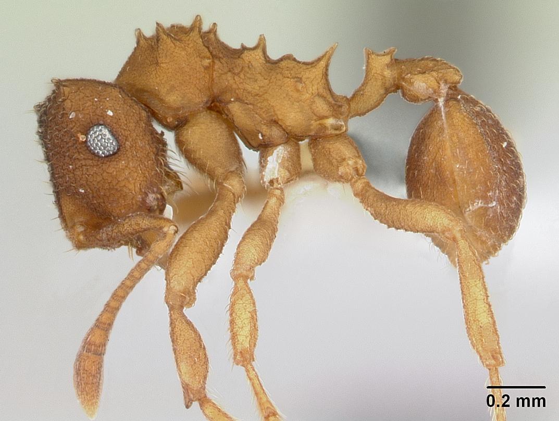 В Амазонии живут муравьи-клоны, каждый из которых — точная копия королевы муравейника