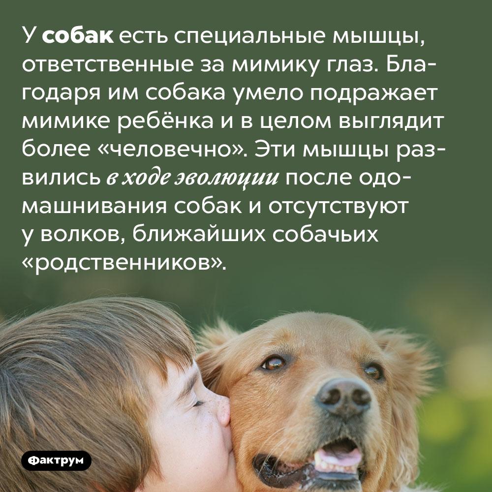 Собачья морда выглядит «человечно» благодаря особым мимическим мышцам, развившимся после одомашнивания. У собак есть специальные мышцы, ответственные за мимику глаз. Благодаря им собака умело подражает мимике ребёнка и в целом выглядит более «человечно». Эти мышцы развились в ходе эволюции после одомашнивания собак и отсутствуют у волков, ближайших собачьих «родственников».