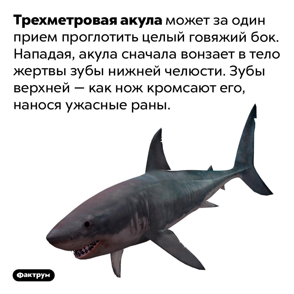 Трехметровая акула может заодин прием проглотить целый говяжий бок. Нападая, акула сначала вонзает втело жертвы зубы нижней челюсти. Зубы верхней— как нож кромсают его, нанося ужасные раны.