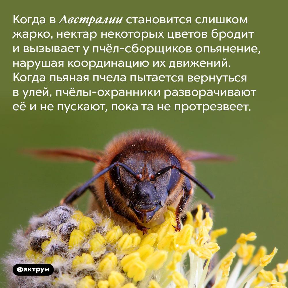 Пьяных пчёл непускают домой. Когда в Австралии становится слишком жарко, нектар некоторых цветов бродит и вызывает у пчёл-сборщиков опьянение, нарушая координацию их движений. Когда пьяная пчела пытается вернуться в улей, пчёлы-охранники разворачивают её и не пускают, пока та не протрезвеет.