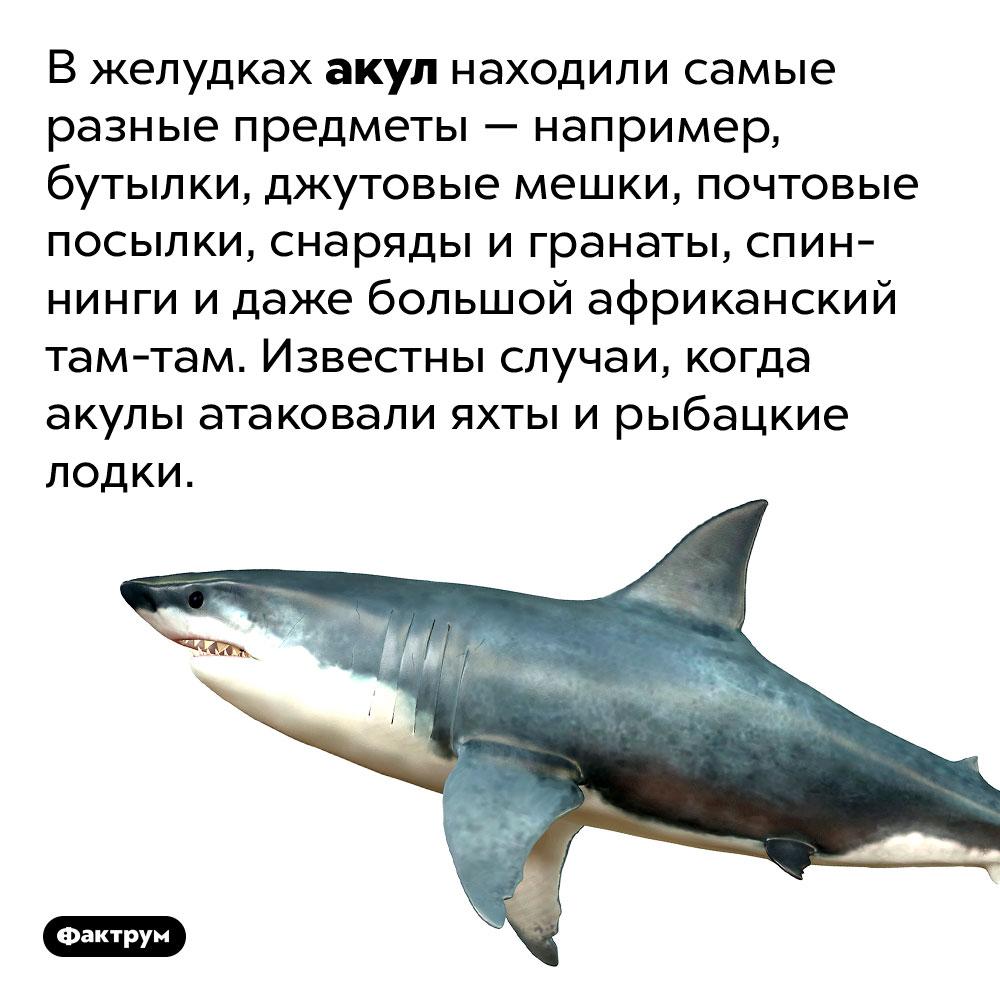 Вжелудках акул находили самые разные предметы. Например, бутылки, джутовые мешки, почтовые посылки, снаряды игранаты, спиннинги идаже большой африканский там-там. Известны случаи, когда акулы атаковали яхты ирыбацкие лодки.