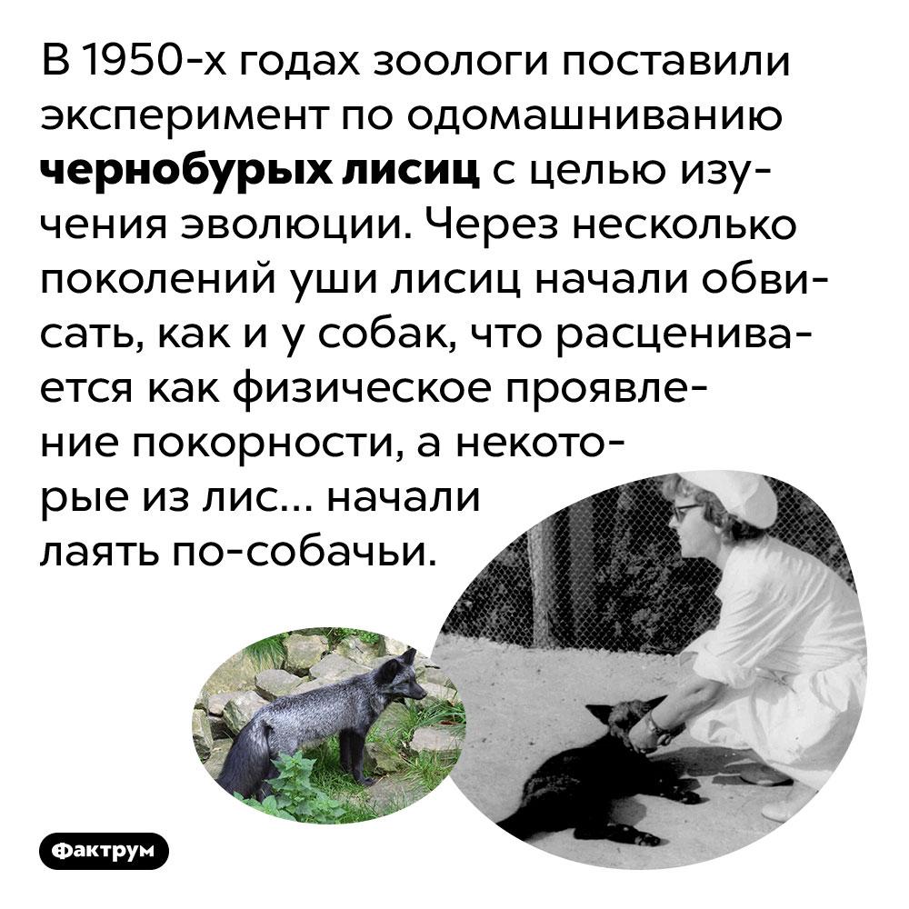 Впроцессе одомашнивания лис уних обвисают уши ипоявляется лай. В 1950-х годах зоологи поставили эксперимент по одомашниванию чернобурых лисиц с целью изучения эволюции. Через несколько поколений уши лисиц начали обвисать, как и у собак, что расценивается как физическое проявление покорности, а некоторые из лис… начали лаять по-собачьи.