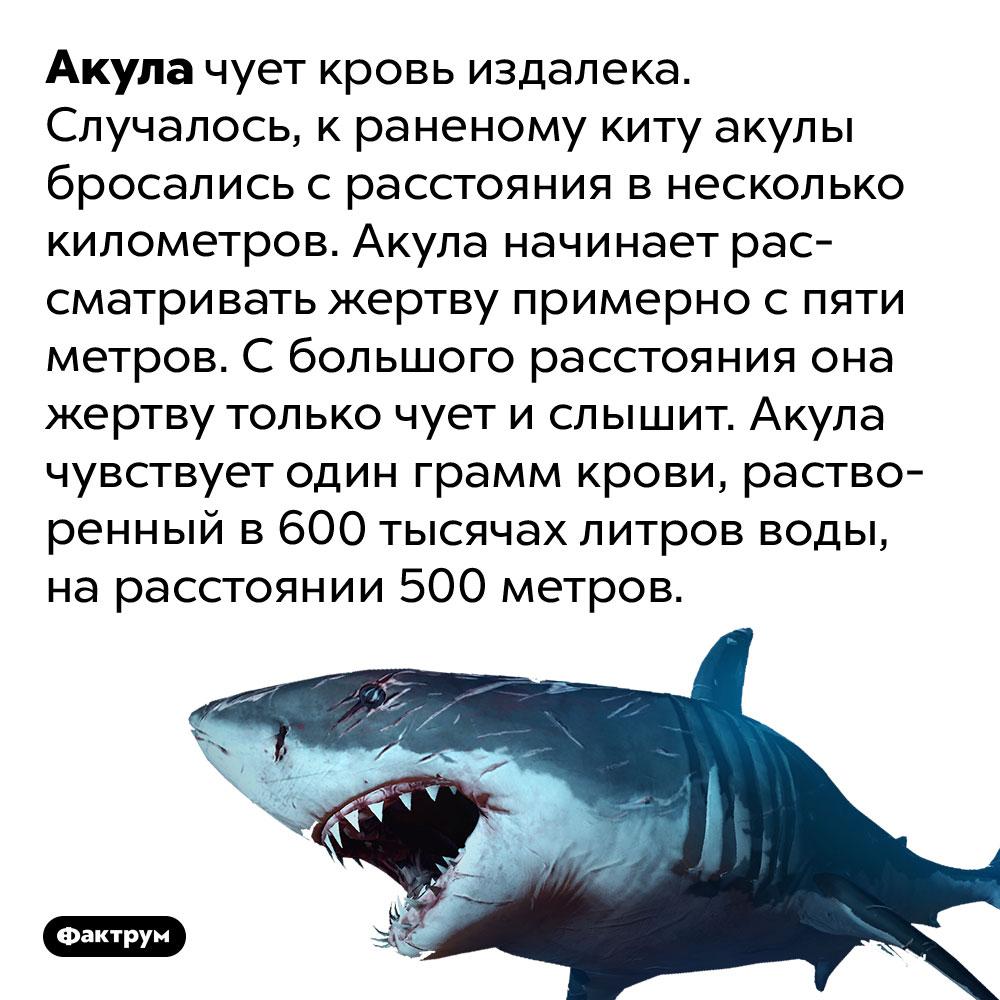 Акула чует кровь издалека. Случалось, краненому киту акулы бросались срасстояния внесколько километров. Акула начинает рассматривать жертву примерно спяти метров. Сбольшого расстояния она жертву только чует ислышит. Акула чувствует один грамм крови, растворенный в600 тысячах литров воды, нарасстоянии 500метров.