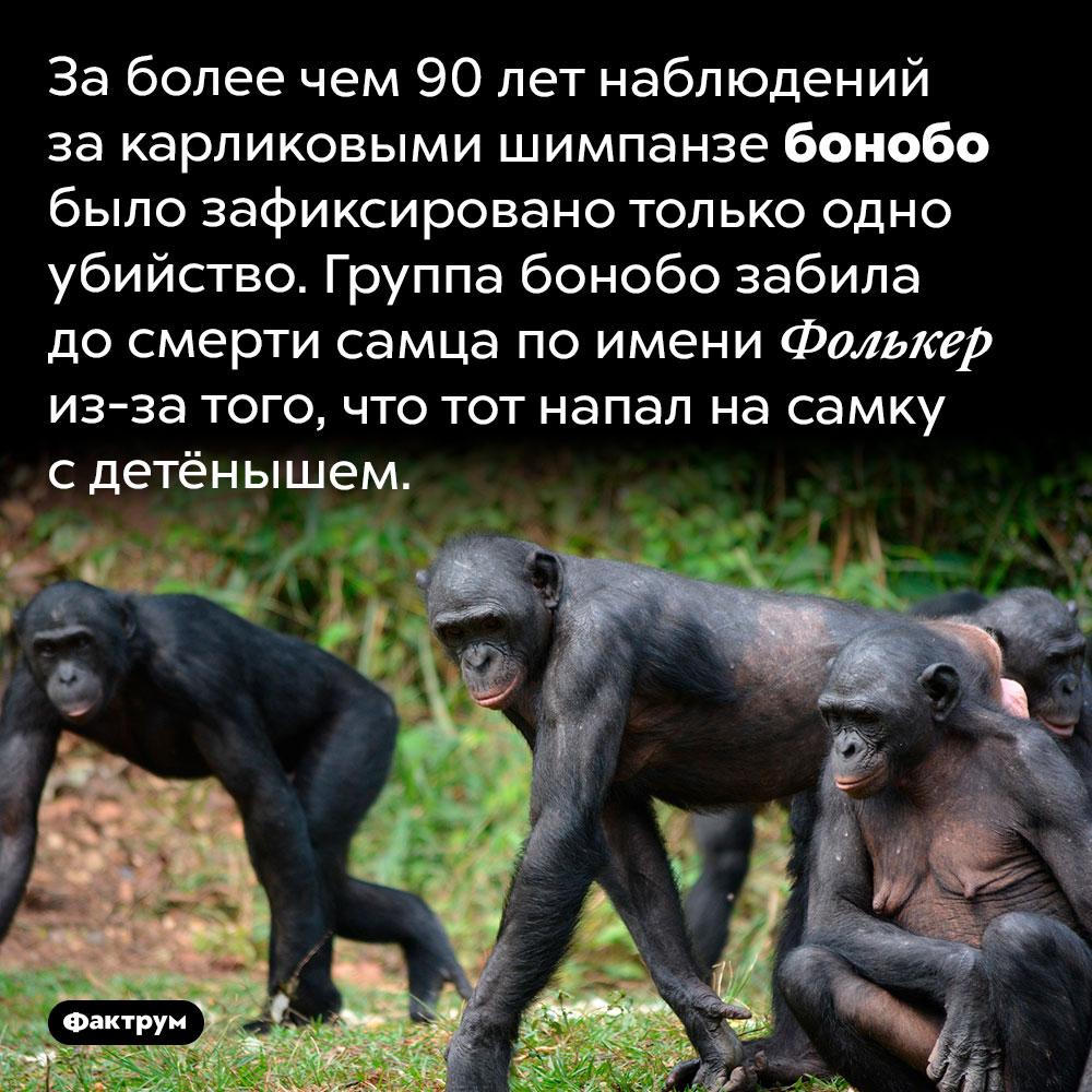 Карликовые шимпанзе бонобо совершили всего одно убийство за90лет. За более чем 90 лет наблюдений за карликовыми шимпанзе бонобо было зафиксировано только одно убийство. Группа бонобо забила до смерти самца по имени Фолькер из-за того, что тот напал на самку с детёнышем.