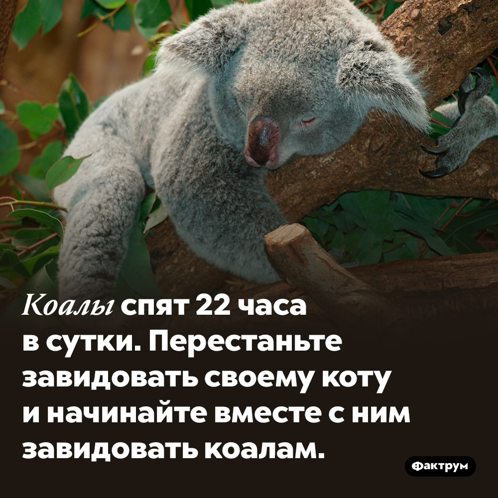 Коалы спят почти круглые сутки. Коалы спят 22 часа в сутки. Перестаньте завидовать своему коту и начинайте вместе с ним завидовать коалам.