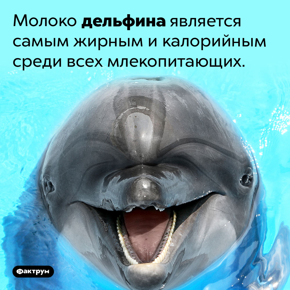 У дельфина самое жирное молоко. Молоко дельфина является самым жирным и калорийным среди всех млекопитающих.