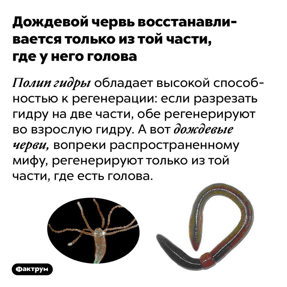 Дождевой червь восстанавливается только изтой части, где унего голова. Полип гидры обладает высокой способностью к регенерации: если разрезать гидру на две части, обе регенерируют во взрослую гидру. А вот дождевые черви, вопреки распространенному мифу, регенерируют только из той части, где есть голова.