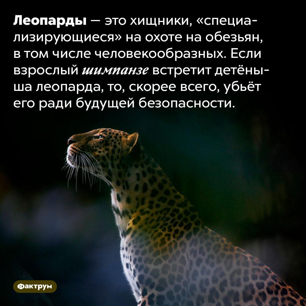Леопарды питаются обезьянами, втом числе человекообразными. Леопарды — это хищники, «специализирующиеся» на охоте на обезьян, в том числе человекообразных. Если взрослый шимпанзе встретит детёныша леопарда, то, скорее всего, убьёт его ради будущей безопасности.