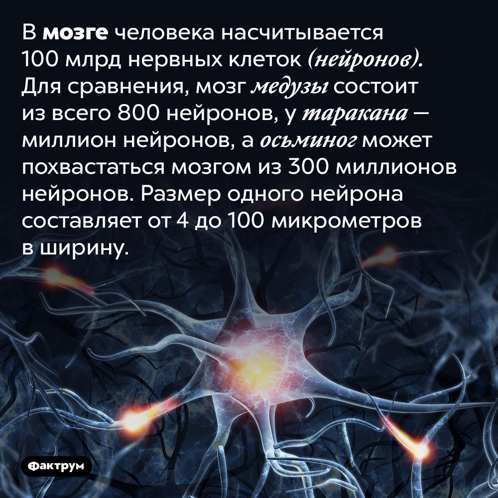 Вмозге человека насчитывается 100млрд нервных клеток (нейронов). Для сравнения, мозг медузы состоит извсего 800 нейронов, утаракана— миллион нейронов, аосьминог может похвастаться мозгом из300миллионов нейронов. Размер одного нейрона составляет от4 до100микрометров вширину.