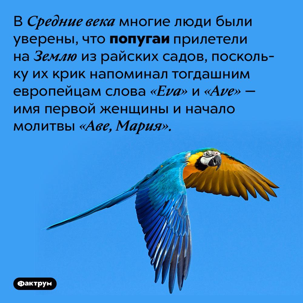 В Средневековье многие считали попугаев райскими птицами. В Средние века многие люди были уверены, что попугаи прилетели на Землю из райских садов, поскольку их крик напоминал тогдашним европейцам слова «Eva» и «Ave» — имя первой женщины и начало молитвы «Аве, Мария».