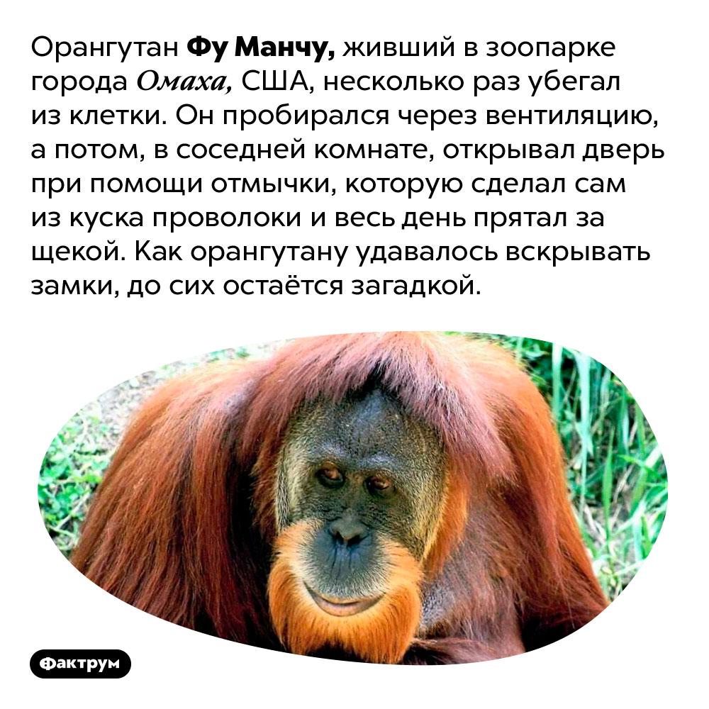 Орангутан Фу Манчу умел взламывать замки. Орангутан Фу Манчу, живший в зоопарке города Омаха, США, несколько раз убегал из клетки. Он пробирался через вентиляцию, а потом, в соседней комнате, открывал дверь при помощи отмычки, которую сделал сам из куска проволоки и весь день прятал за щекой. Как орангутану удавалось вскрывать замки, до сих остаётся загадкой.