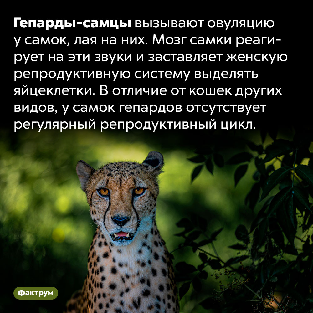 Чтобы самка гепарда могла забеременеть, её должен облаять самец. Гепарды-самцы вызывают овуляцию у самок, лая на них. Мозг самки реагирует на эти звуки и заставляет женскую репродуктивную систему выделять яйцеклетки. В отличие от кошек других видов, у самок гепардов отсутствует регулярный репродуктивный цикл.