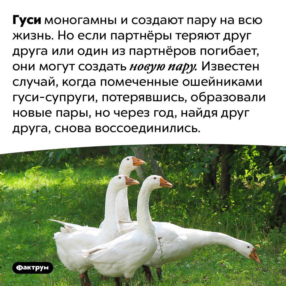 Гуси создают пару навсю жизнь. Гуси моногамны и создают пару на всю жизнь. Но если партнёры теряют друг друга или один из партнёров погибает, они могут создать новую пару. Известен случай, когда помеченные ошейниками гуси-супруги, потерявшись, образовали новые пары, но через год, найдя друг друга, снова воссоединились.