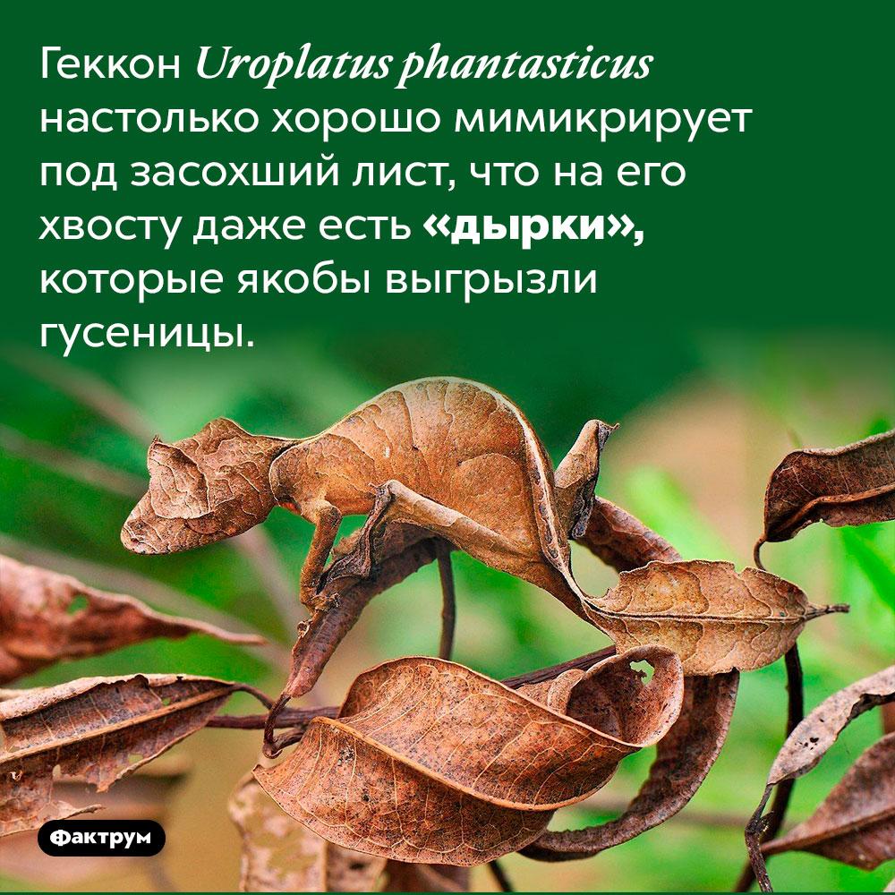 Существует вид геккона, который выглядит вточности как лист. Геккон Uroplatus phantasticus настолько хорошо мимикрирует под засохший лист, что на его хвосту даже есть «дырки», которые якобы выгрызли гусеницы.