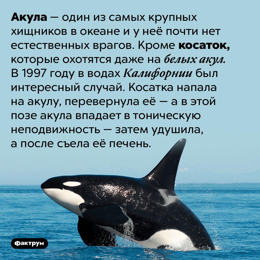 Косатки — единственные природные враги акул. Акула — один из самых крупных хищников в океане и у неё почти нет естественных врагов. Кроме косаток, которые охотятся даже на белых акул. В 1997 году в водах Калифорнии был интересный случай. Косатка напала на акулу, перевернула её — а в этой позе акула впадает в тоническую неподвижность — затем удушила, а после съела её печень.