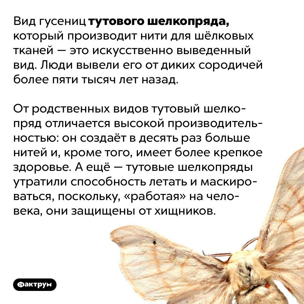 Тутовый шелкопряд, изнитей которого делают шёлковую ткань — вид, выведенный человеком. Вид гусениц тутового шелкопряда, который производит нити для шёлковых тканей — это искусственно выведенный вид. Люди вывели его от диких сородичей более пяти тысяч лет назад.   От родственных видов тутовый шелкопряд отличается высокой производительностью: он создаёт в десять раз больше нитей и, кроме того, имеет более крепкое здоровье. А ещё — тутовые шелкопряды утратили способность летать и маскироваться, поскольку, «работая» на человека, они защищены от хищников.