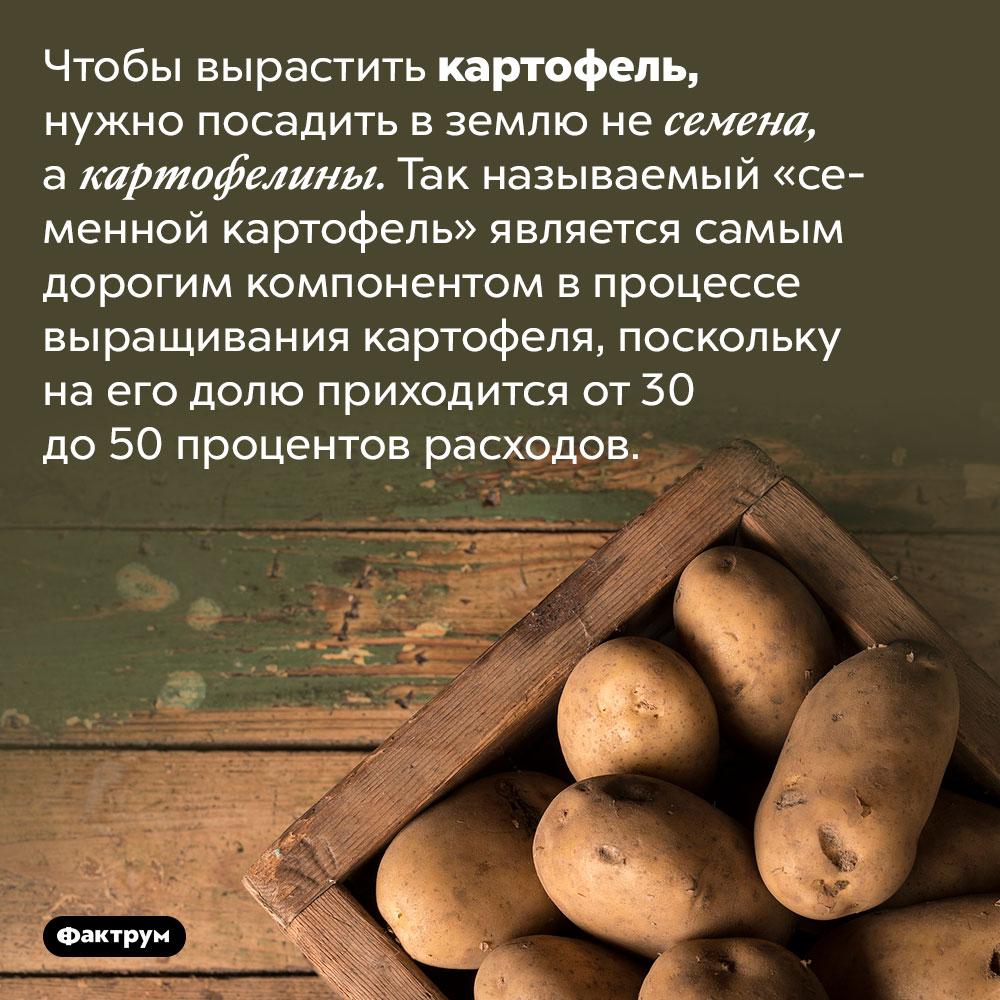 «Семенной картофель» — самый дорогой компонент впроцессе выращивания картофеля. Чтобы вырастить картофель, нужно посадить в землю не семена, а картофелины. Так называемый «семенной картофель» является самым дорогим компонентом в процессе выращивания картофеля, поскольку на его долю приходится от 30 до 50 процентов расходов.