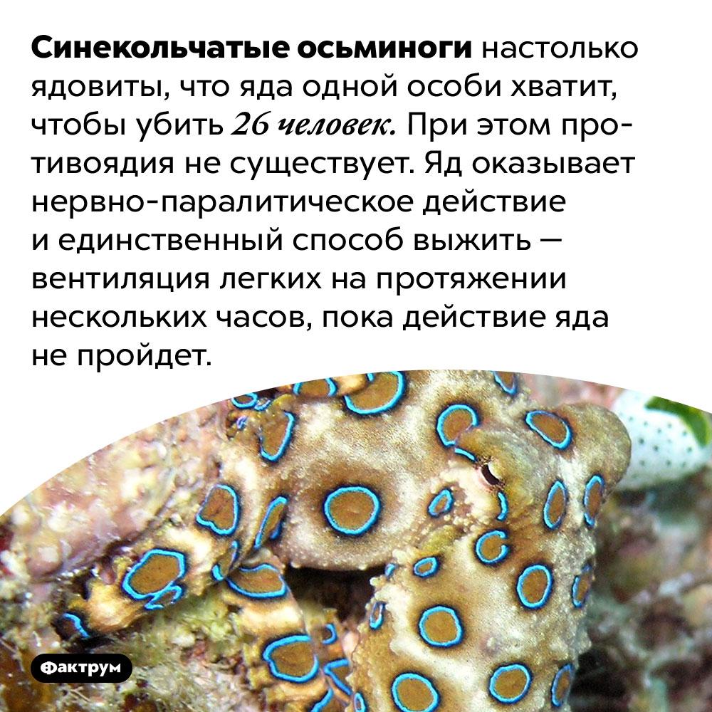 Синекольчатые осьминоги потрясающе ядовиты. Синекольчатые осьминоги настолько ядовиты, что яда одной особи хватит, чтобы убить 26 человек. При этом противоядия не существует. Яд оказывает нервно-паралитическое действие и единственный способ выжить — вентиляция легких на протяжении нескольких часов, пока действие яда не пройдет.