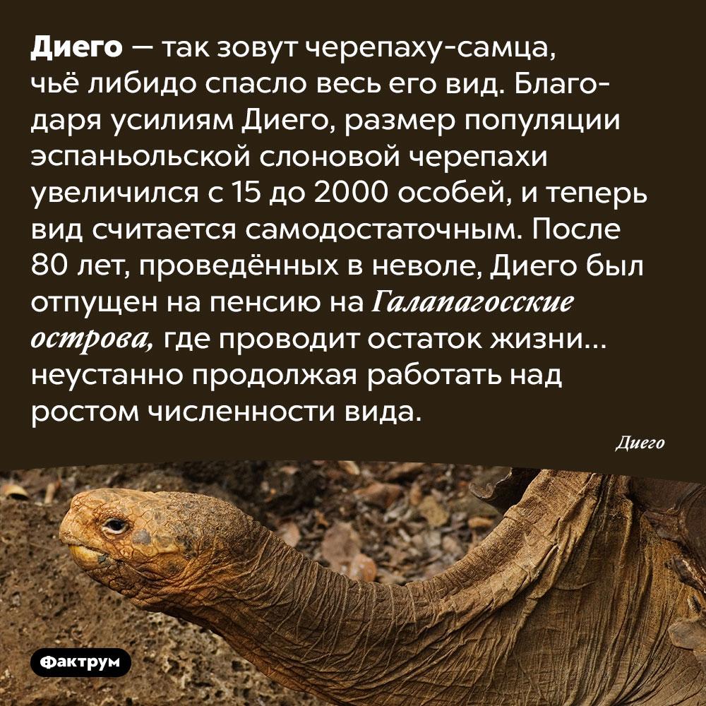Либидо самца черепахи поимени Диего спасло весь его вид. Диего — так зовут черепаху-самца, чьё либидо спасло весь его вид. Благодаря усилиям Диего, размер популяции эспаньольской слоновой черепахи увеличился с 15 до 2000 особей, и теперь вид считается самодостаточным. После 80 лет, проведённых в неволе, Диего был отпущен на пенсию на Галапагосские острова, где проводит остаток жизни… неустанно продолжая работать над ростом численности вида.