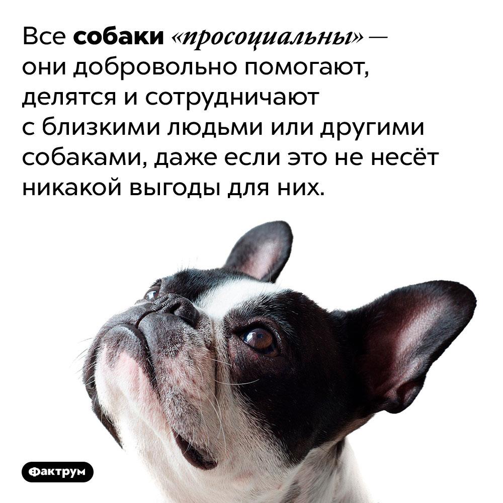 Собаки бескорыстно помогают близким. Все собаки «просоциальны» — они добровольно помогают, делятся и сотрудничают с близкими людьми или другими собаками, даже если это не несёт никакой выгоды для них.